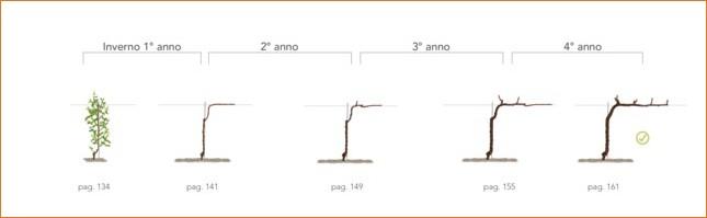 Cordone speronato manuale di - Potatura vite uva da tavola ...