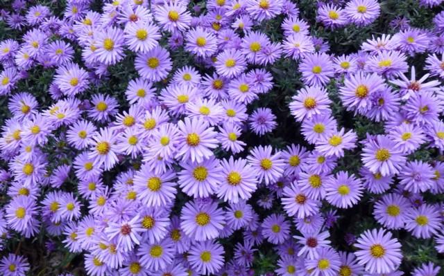Fiori tipici di questo mese i - Settembrini fiori ...