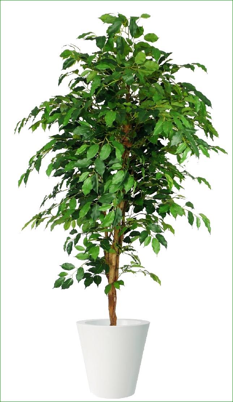 Piante Da Appartamento Benjamin.Www Ladigetto It Una Pianta Resistente Ficus Benjamin Di