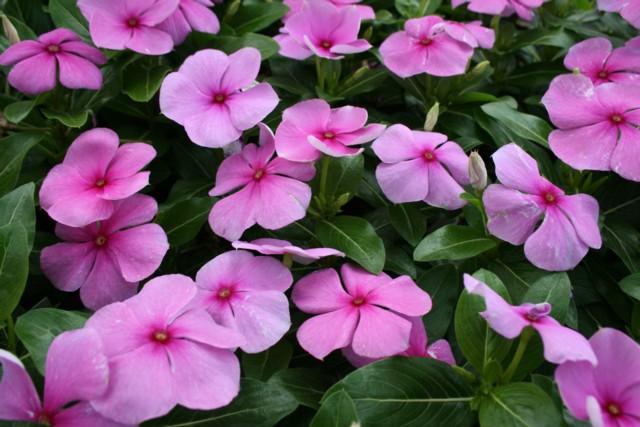 La gran fioritura della vinca del for Pervinca pianta