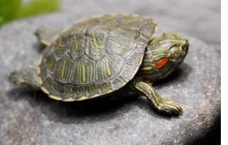 Tartarughe da salvare di romina for Lago per tartarughe