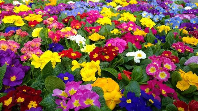 Primule di gennaio di davide brugna for Primule immagini