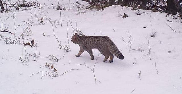Wwwladigettoit Il Gatto Selvatico Fa La Sua Prima Comparsa Sul
